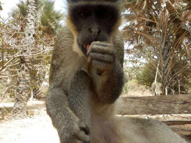 Affe im Bijilo Forest Park