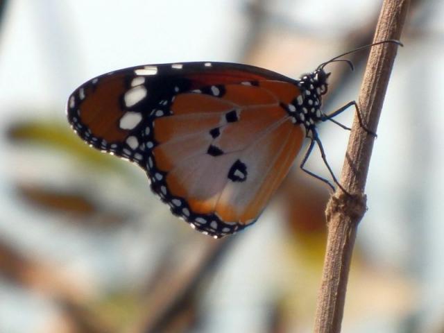 Schmetterling im Bijilo Forest Park
