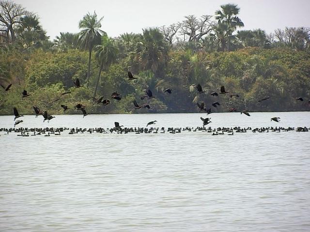 Vogelschwarm auf dem Gambia River
