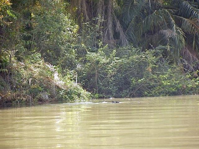 Flusspferd auf dem Gambia River