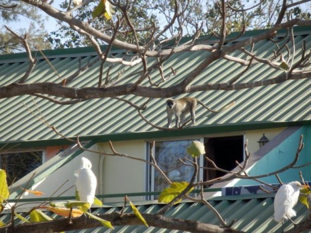 Affen im Senegambia Beach Hotel