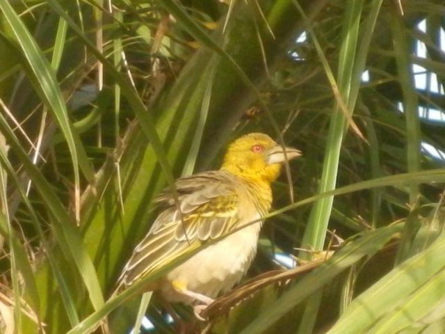 Vogel im Senegambia Beach Hotel