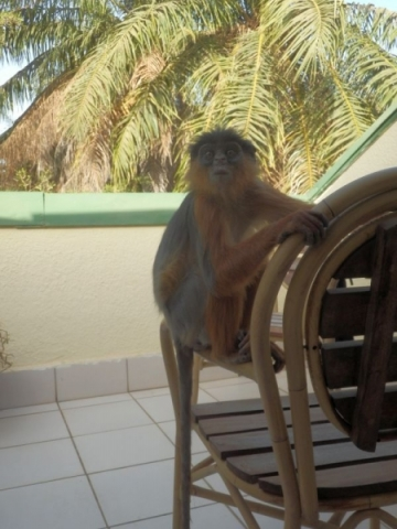 Affe im Senegambia Beach Hotel