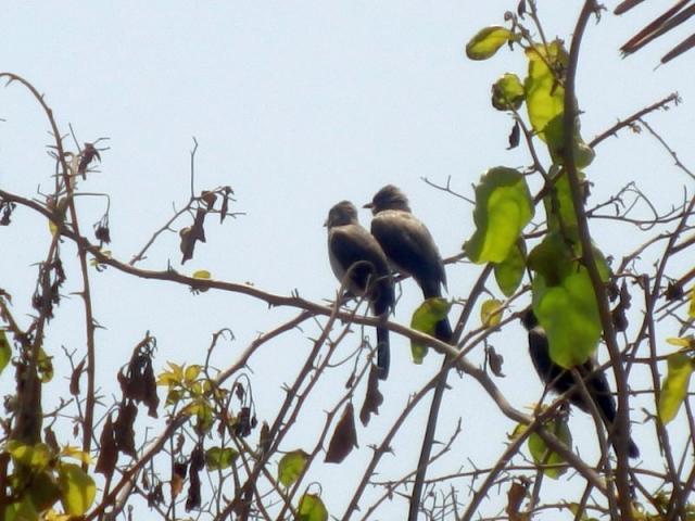 Vögel im Senegambia Beach Hotel