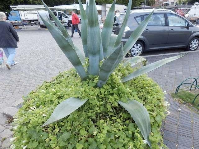 Kaktus in Trelleborg