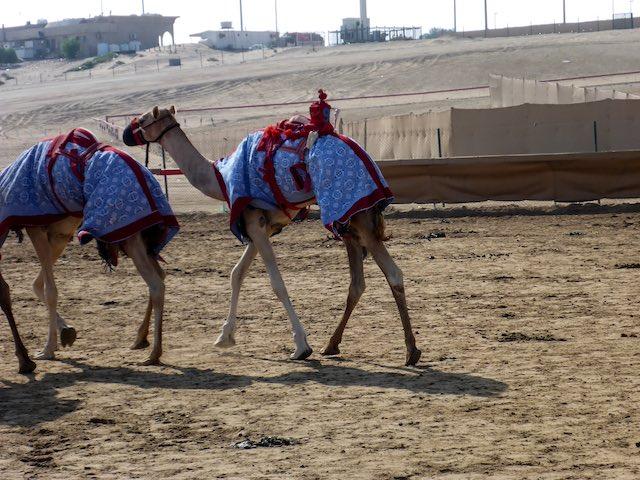 Abu-Dhabi-Camel-Race-Track-03
