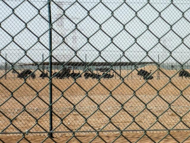 Abu-Dhabi-Straussenfarm
