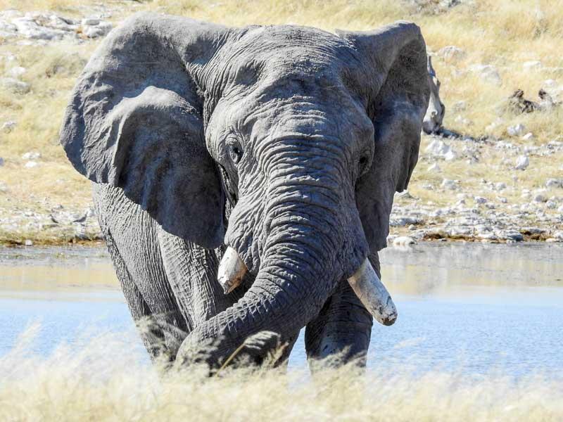 Elefant-Olifantsbad