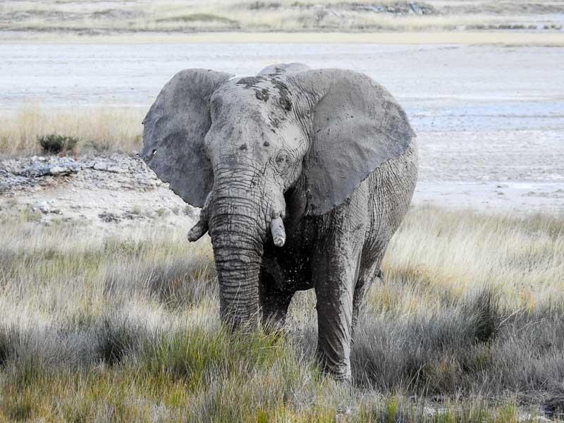 Etosha-Elefant-Batia-01