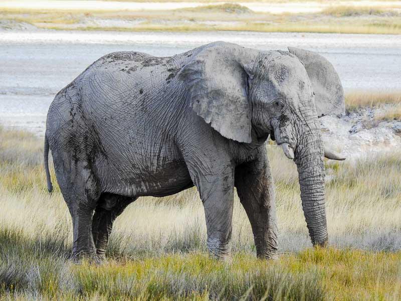 Etosha-Elefant-Batia
