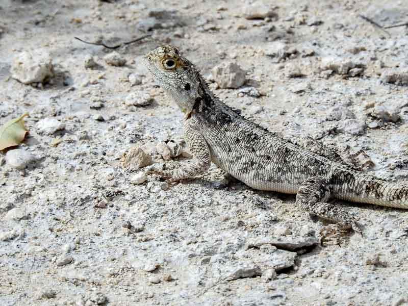 Etosha-Gecko