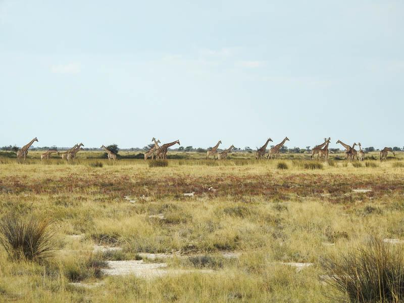 Etosha-Giraffen-01