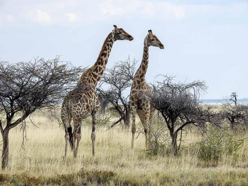 Etosha-Giraffen-02