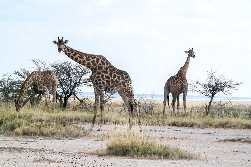 Etosha-Giraffen-03