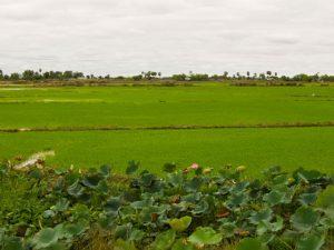 Fahrradtour-in-Kambodscha_Gruene_Felder_SOMEWHERE_ELSE