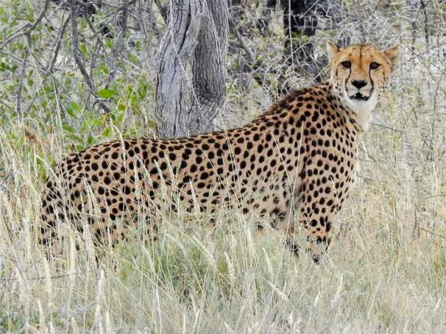Gepard-Etosha-02