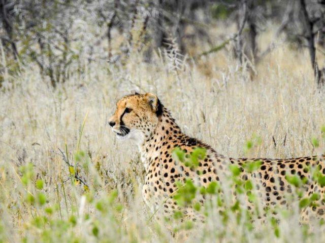 Gepard-Etosha-03