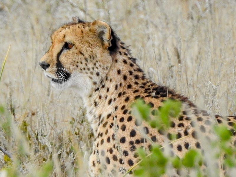 Gepard-Etosha-04