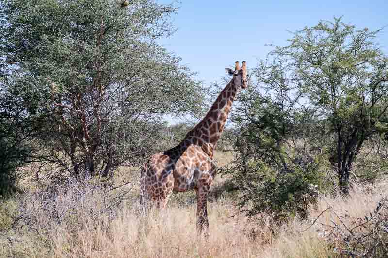 Giraffe-Namutoni-01