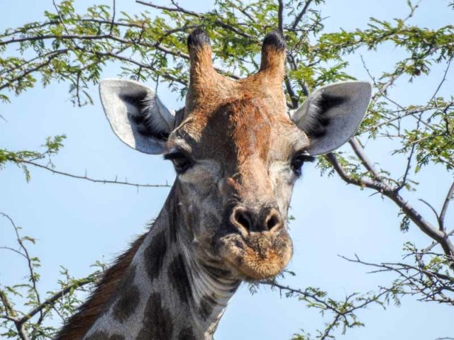 Giraffe-Namutoni-02