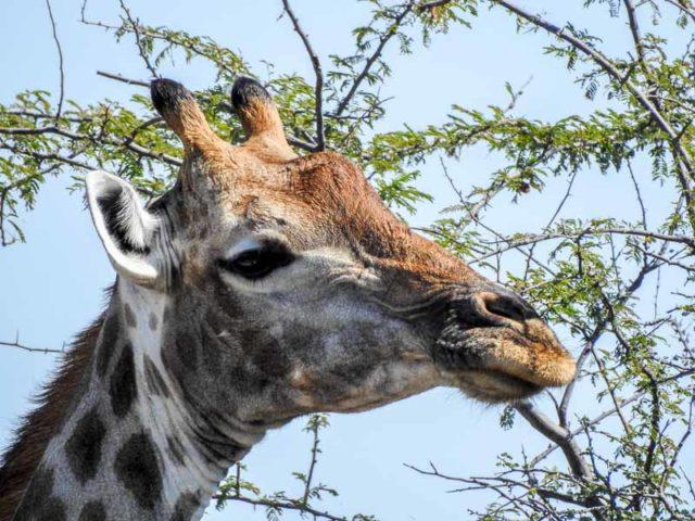 Giraffe-Namutoni-03