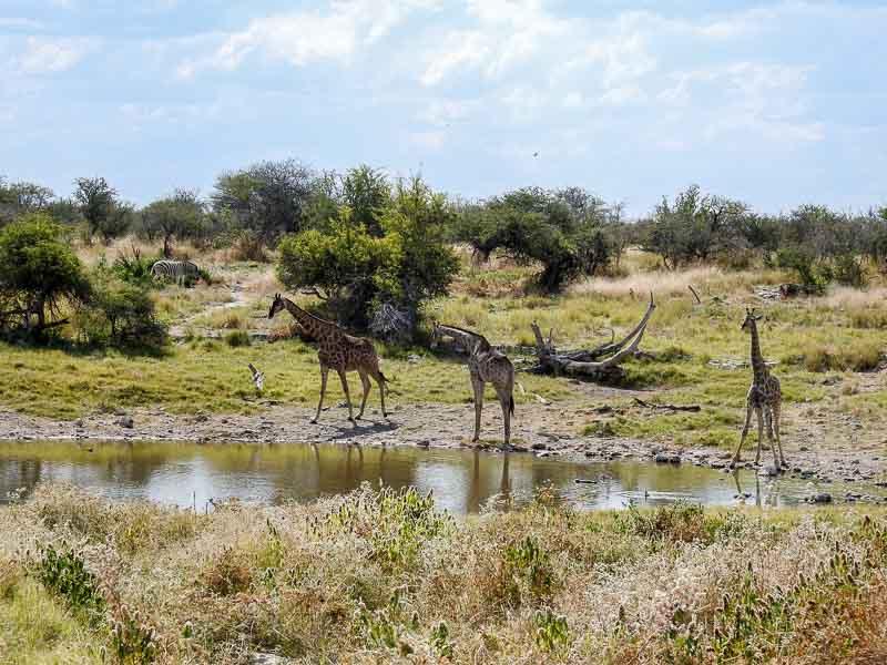 Giraffen-Groot-Okevi-Namutoni