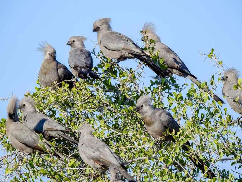 Grauschreivogel-Etosha