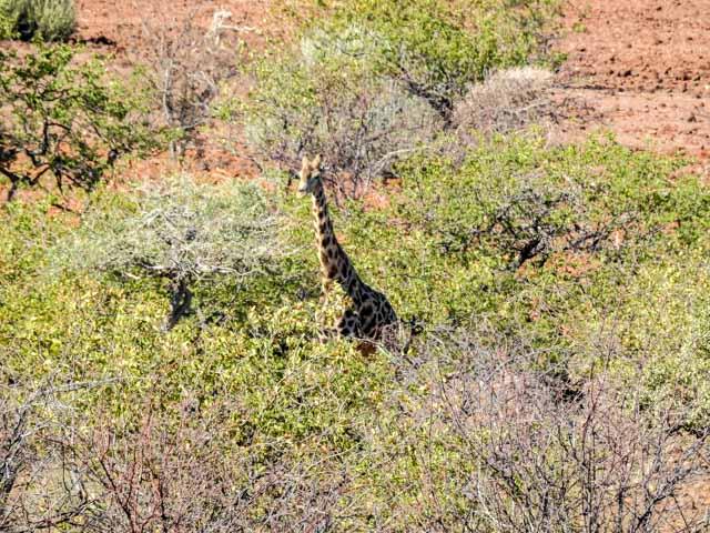Grootbergpass-Giraffe-02