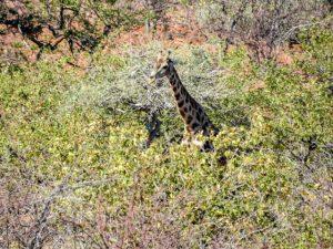 Grootbergpass-Giraffe-03