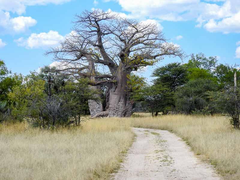 Grootfontein-Baobab-Tree-04