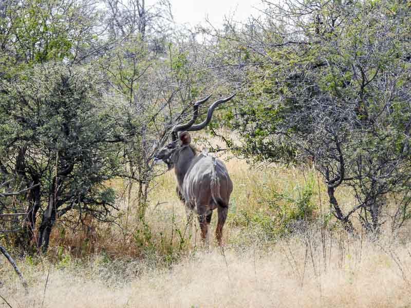 Grosser-Kudu-Groot-Okevi-Namutoni