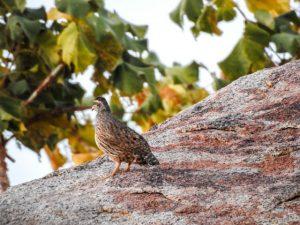 Huehner-vogel-namibia