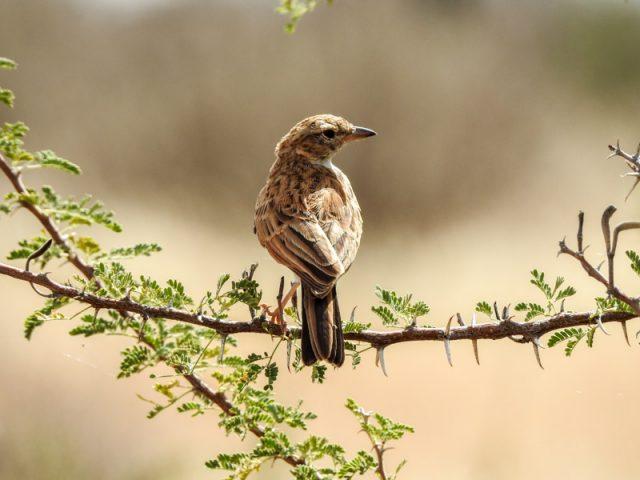 Kalahari-Waking-Trail-22