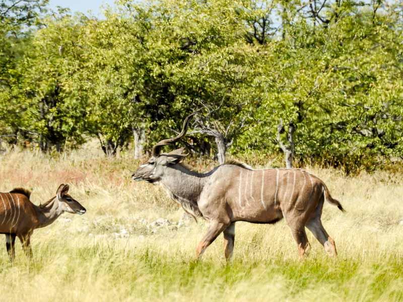 Kudu-Rietfontain