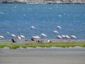 Luederitz-Flamingos