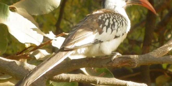 Der Rotschnabeltoko (Tockus erythrorhynchus) in Gambia 2