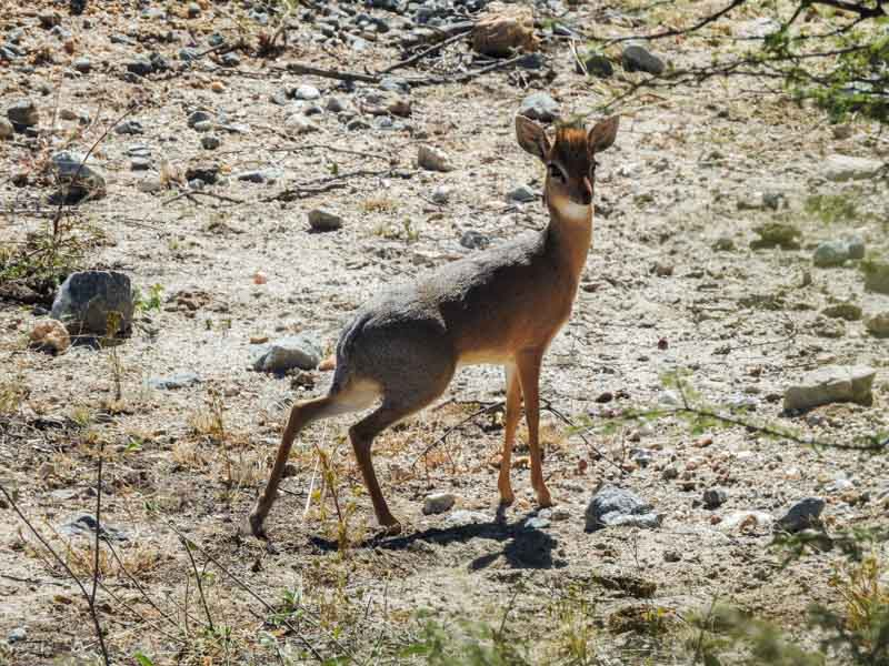Weavers-Rock-Dik-Dik