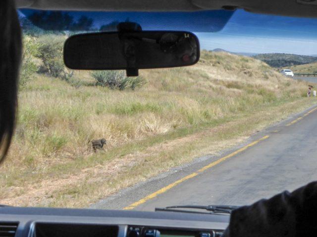 Windhoek-Affen-am-Straßenrand