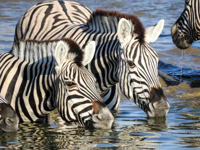 Zebras-Okaukuejo-01