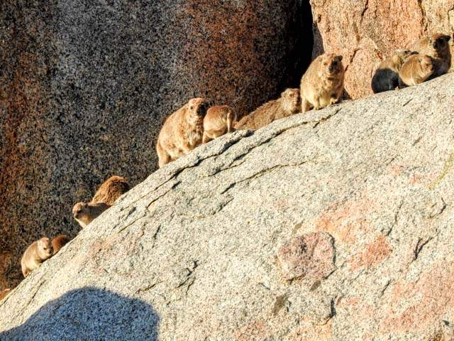 klippschliefer-namibia